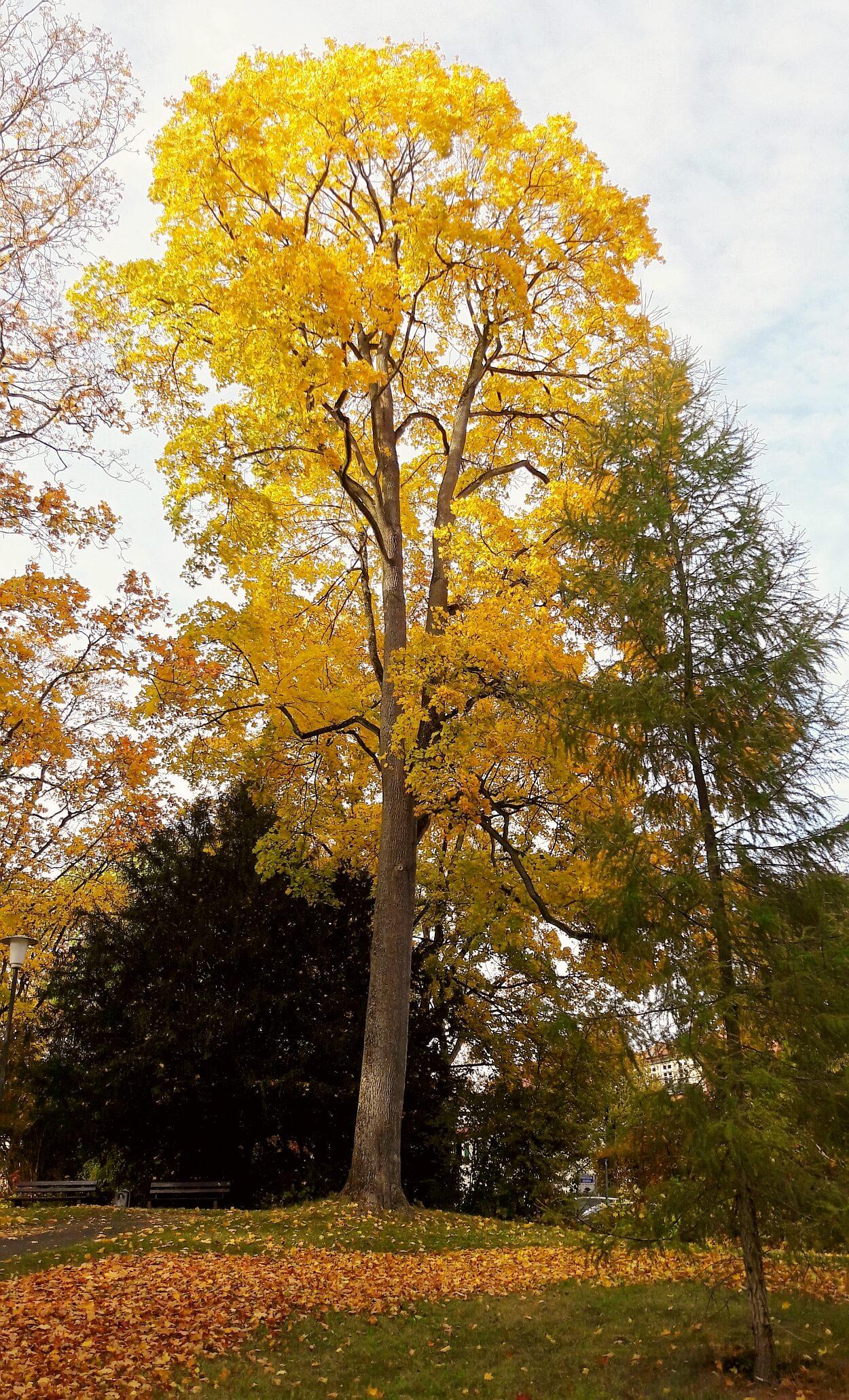 Baum mit gelben Blättern goldener Herbst